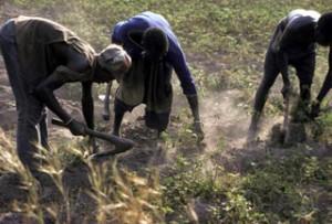 SŽnŽgal Ag 01 - 02, Casamance, rŽcolte de l'arachide